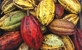 cacao-3